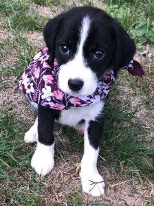 Allison puppy 1a