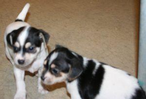 Katies puppies 1
