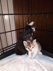 Litter of 3 - with calico