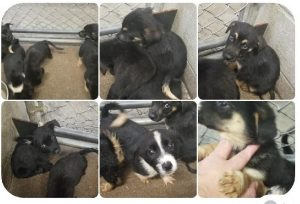 Shep mix puppies 5