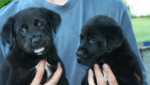new black lab pups